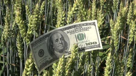ekonomi : agriculture business money concept on wheat field. USA usd dollar banknote on wheat ears Stok Video