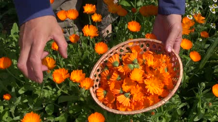 calendula officinalis : harvesting beautiful calendula officinalis marigold medical flowers