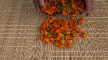 calendula officinalis : harvesting fresh calendula marigold medical flowers on table Stock Footage