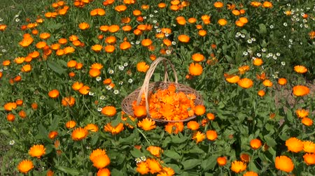 stokrotki : marigold calendula medical flower herbs in wicker wooden basket