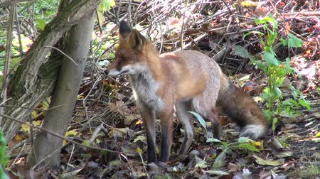 maravilha : beautiful free wild red fox (Vulpes vulpes)in autumn forest