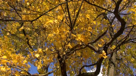 red maple : big autumn golden maple tree in park Stock Footage
