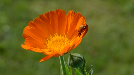 calendula officinalis : beautiful ladybird ladybug on calendula marigold medical flower