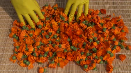calendula officinalis : fresh calendula marigold medical flowers for drying on table Stock Footage