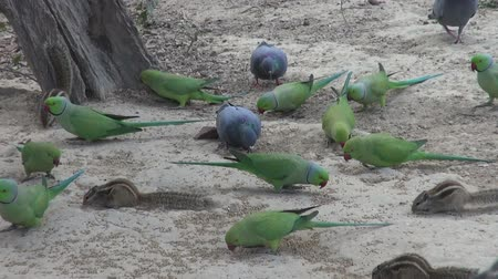 indian squirrel : green parrots and pigeons in park eating grain bird food Agra India