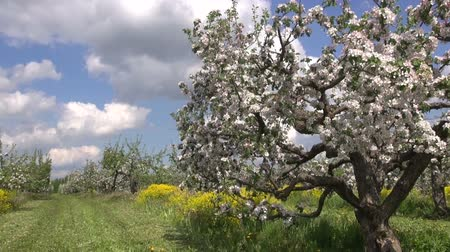 mandula : industrial orchard garden with blossoming apple tree in spring
