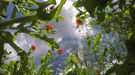 calendula officinalis : medical flowers chamomile and marigold calendula in summer wind and clouds motion. Timelapse 4K