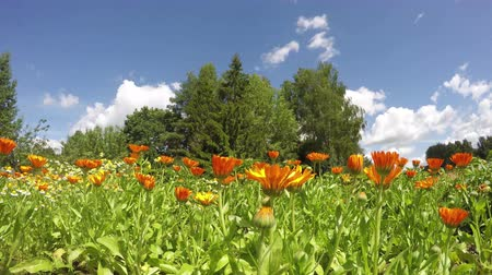 calendula blossoms : blossoming medical herbs flowers marigold calendula in farm garden and clouds in wind. timelapse 4K