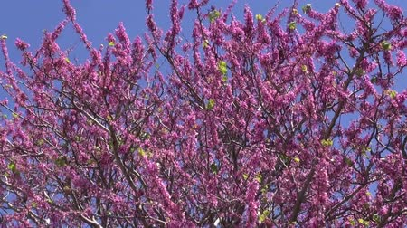rhodes : Pink flowering tree in Rhodes island Stock Footage