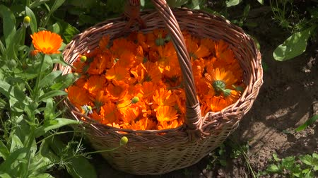 calendula officinalis : Marigold calendula blossoms in woven basket in the garden, zoom out