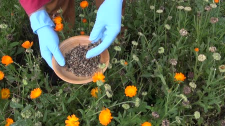 calendula officinalis : Farmer picking seeds of marigold in herb garden