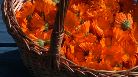 calendula officinalis : Wicker basket full of freshly picked marigold blooms on blue table background