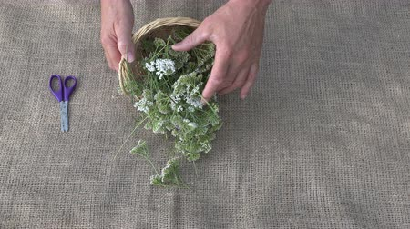 wicket : Man herbalist preparing to dry yarrow blossoms, 4K Stock Footage