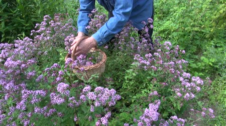 oregano : Man herbalist gardener in  blue shirt collecting flowering oregano for drying Stock Footage