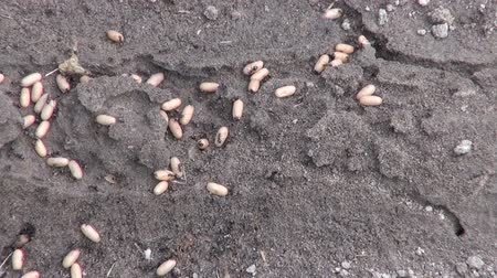 formicidae : Lasius niger black garden ants moving their eggs underground Stock Footage