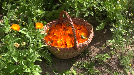 calendula officinalis : Freshly collected calendula marigold blossoms in wicker basket in the garden