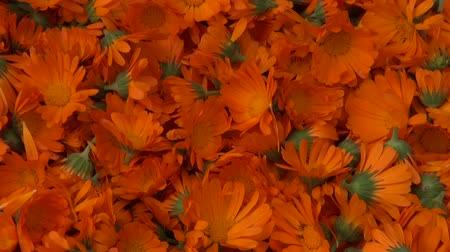 calendula officinalis : Freshly picked calendula prepared for drying on straw material