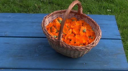 calendula officinalis : Freshly picked calendula prepared for drying in wicker basket on blue table