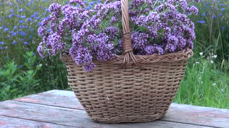 oregano : Basket of freshly picked oregano in wicker basket o red wooden table