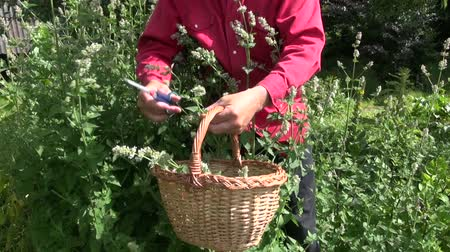 melissa officinalis : Man gardener collecting fresh flowering balm mint lemon balm herb