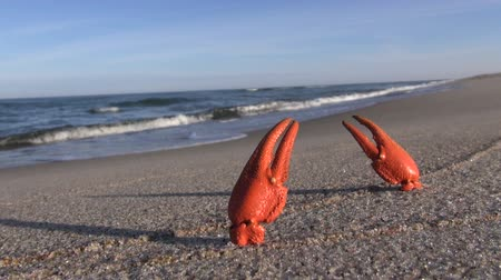 когти : European crayfish pincers on the beach in the sand