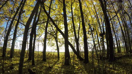 quaking : Beautiful sunlit day in golden autumn aspen forest and wind. Timelapse 4K
