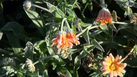 calendula officinalis : Orange frosty marigold calendula growing in the garden on cold morning Stock Footage