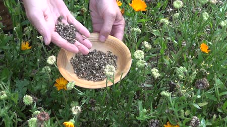 calendula officinalis : Gardener herbalist hands in autumn pick calendula marigold seeds