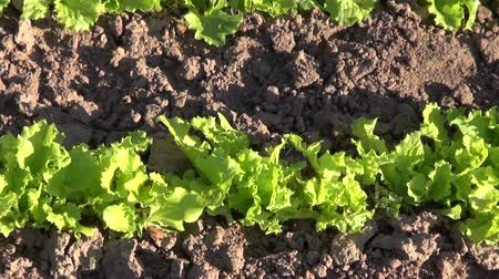 marul : Green lettuce growing in the vegetable garden Stok Video