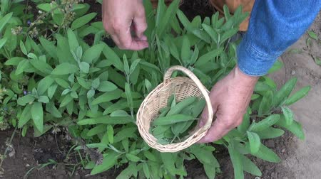 salvia : Man herbalist picking fresh savory leaves into wicker basket Stock Footage