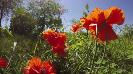 perennials : Orange oriental poppies flowering in meadow on sunny spring morning, 4K