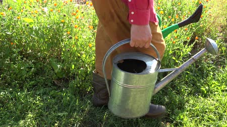 pot marigold : Gardener wearing rubber boots, red shirt and brown pants picking up two watering cans full of water in herb garden, 4K Stock Footage