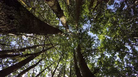 inspiradora : Tall trees with green foliage aspen forest shot from beneath in the forest on sunny summer day, 4K Stock Footage