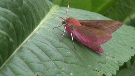 butterflies in the stomach : Small elephant hawk-moth butterfly waving its pink and brown wings while perched on a leaf in summer