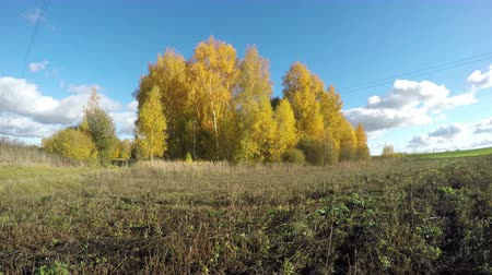 autumns : Yellow birch trees growing in the fields on sunny autumns day in countryside, time lapse 4K Stock Footage