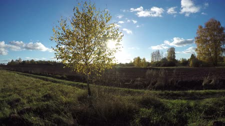 autumns : Sun shining through yellowing birch tree growing in the fields on sunny autumns day in countryside, time lapse 4K Stock Footage