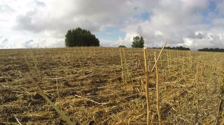 autumns : Field full of harvested rapeseed stalks on cloudy windy autumns day, time lapse 4K Stock Footage