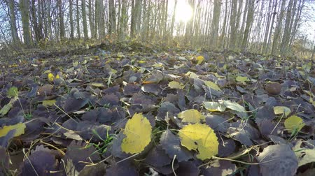 populus : Yellow aspen tree leaves on  trees in the forest by the field with sun shining through in autumns morning, time lapse 4K Stock Footage