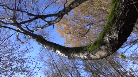 autumns : Trunk and branches of old birch tree in the forest on sunny windy autumns day