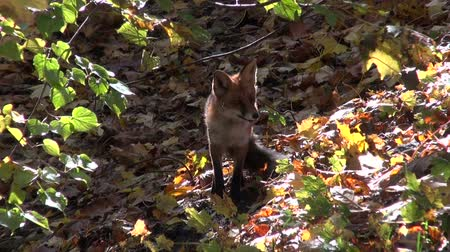 omnivore : Red fox Vulpes vulpes stretching in the forest on sunny autumns day
