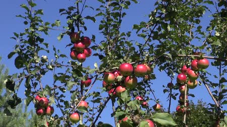 autumns : Ripe red apples on apple tree on sunny autumns day with a breeze