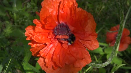 perennials : Bumblebee on Oriental poppy in the garden on sunny day Stock Footage