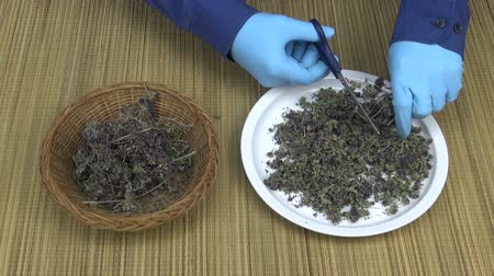 luva : Gardener cutting dried oregano herbs scissors into the white porcelain plate on table wearing blue rubber gloves