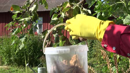 hnijící : Gardener wearing yellow rubber gloves and red shirt collecting rotten pears into plastic bucket off the tree, 4K Dostupné videozáznamy