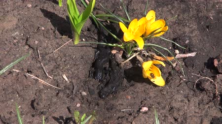 amphibia : Newt Triturus cristatus crawling on soil between yellow crocus on sunny spring day Stock Footage