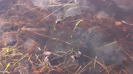 amphibia : Spawning Marsh frogs on sunny spring day in a shallow pond Stock Footage