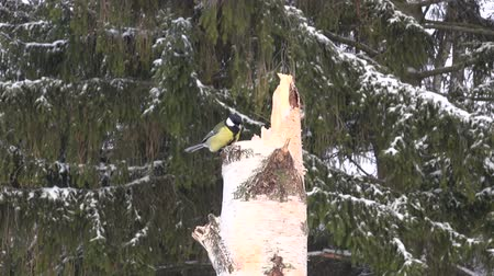insectivorous birds : Great tit on a birch stump feeder by the forest in winter