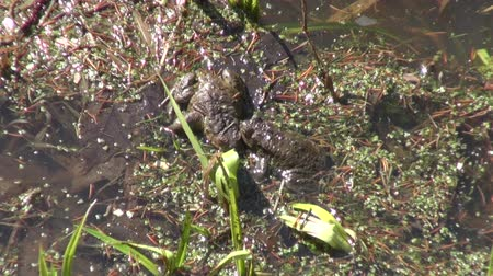 amphibia : Two spawning common toads in shallow water in a pond on sunny early spring day