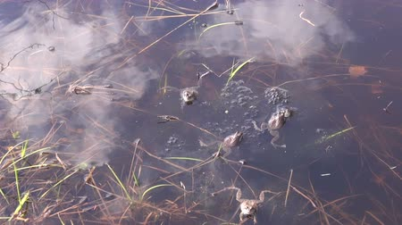 amphibia : Mating marsh frogs in the pond on sunny warm spring day