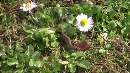amphibia : Smooth newt crawling on spring grass Stock Footage